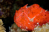 frog fish in Bonaire scarlet red hiding in hard coral