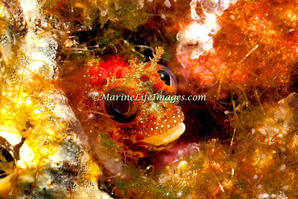 Secretary Blenny inhabit shallow hard bottom slopes, reside in worm tubes with head usually extended in the Bahamas and Caribbean; picture taken Tobago.