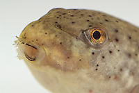 Tadpole of American bullfrog, Rana catesbeiana.  As it transforms into a frog, the tadpole's round mouth, adapted for feeding on plants, will gradually widen and take on a shape more suitable for a predator.  Native to the Eastern United States, bullfrogs were introduced and have become established west of the Rockies. Bullfrogs are large, aggressive predators and prolific breeders, and have seriously depleted native frog populations in many areas of the West.