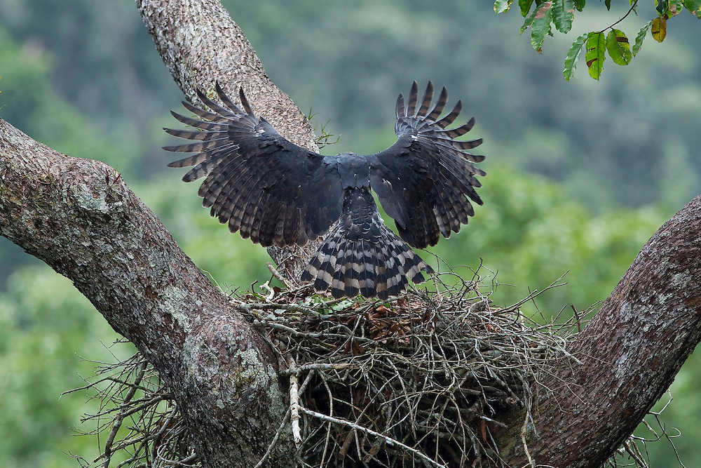 Parauapebas_PA, Brazil.<br /> <br /> The Harpy Eagle wingspan when it reaches the nest.<br /> <br /> Carajas National Forest, Para, Brazil. <br /> <br /> Foto: JOAO MARCOS ROSA / NITRO