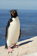 Der Felsenpinguin (Eudyptes chrysocome) ähnelt den anderen Schopfpinguinarten, ist aber an seinen leuchtend roten Augen und der nur dünnen, an der Stirn nicht zusammenlaufenden Augenbrauen-Linie zu erkennen. Mit nur 60 cm Körperlänge ist er außerdem relativ klein.| The rockhopper penguin (Eudyptes chrysocome) can - at the first glance - be confused with the other species of crested penguins, but the only thin, light yellow supercilium (eyebrow) which does not fuse on the forehead, and the bright red eyes are distinctive. Furthermore, with a size of only 60 cm it is rather small.