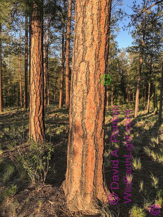 Ponderosa pine tree in open ponderosa pine forest, with native grass, small mountain mahogony bush, Jemez Mountains, NM