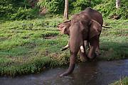 Indian Elephants at the Parambikulam Wildlife Sanctuary on 19th November 2009 in Palakkad, Tamil Nadu, India.