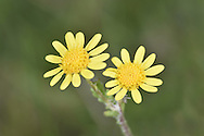 Marsh Ragwort - Senecio palustris