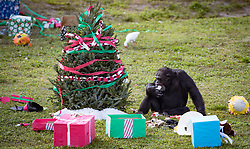 December 20, 2017 - Loxahatchee, Florida, U.S. - Figment sucks on a frozen milk. Lion Country Safari's 16 chimpanzees were treated to gifts during the 33rd annual Christmas with the Chimps in Loxahatchee, Florida on December 20, 2017.  This years Christmas with the Chimps was dedicated to Little Mama the 79-year-old chimpanzee who passed away in November. The park's chimpanzees received gifts including edible treats, stuffed animals, clothes and enrichment-themed activities. ''Chimpanzees are extremely intelligent. They recognize that the gathering crowd of guests signals that Santa is on his way. They also read human emotions very well, and react to the excitement and anticipation of our guests. The whole day is really very enriching for them,'' says Primate Curator Tina Cloutier Barbour. Over the 33 years, it has developed into a community event and this year featured the Cypress Trails Elementary School's ''Singing Lions'' chorus. This is the only event where guests are permitted out of their vehicles. (Credit Image: © Allen Eyestone/The Palm Beach Post via ZUMA Wire)