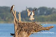 00783-02015 Osprey (Pandion haliaetus) landing at nest with fish Rend Lake Jefferson Co. IL