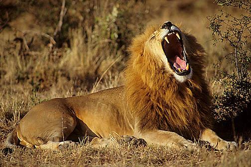 African Lion, (Panthera leo) Portrait of mature male, yawning. Masai Mara Game Reserve. Kenya. Africa.