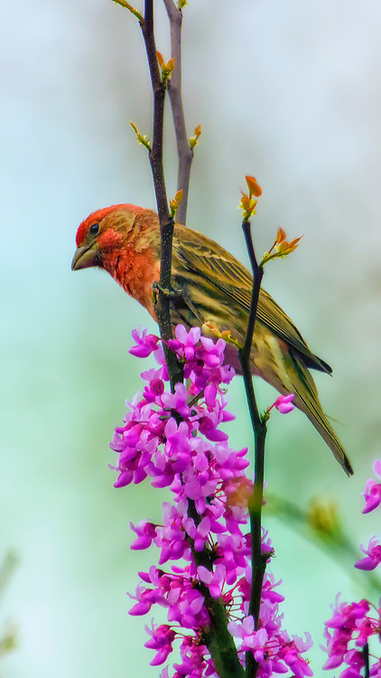 A Red Male House Finch on a spring blooming tree branch with pink and purple blossoms.