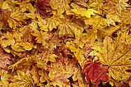 autumn colored Vine Maple (Acer circinatum) leaves scattered on the ground announcing brightly a change in season and the beginning of a dormant season.  Tahoma State Forest in the Washington state Cascade Mountain Range. (higher midtone contrast version)