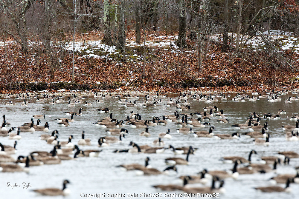 Somewhere in the Canada Geese there is a Pink-footed Goose
