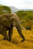 African Bull Elephant, Serengeti National Park, Tanzania