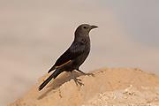 female Tristram's Starling or Tristram's Grackle (Onychognathus tristramii). Photographed in Israel, Dead Sea, in December