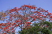 Close up of the red flower of the Delonix regia tree (AKA royal poinciana, flamboyant or flame tree)