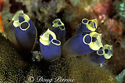 tunicates or sea squirts, <br /> Clavelina robusta, <br /> Gato Island Marine Reserve,<br /> off Cebu Island, Philippines