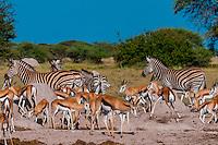 Springbok and zebras at a watering hole, Nxai Pan National Park, Botswana.