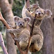 Koala, (Phascolarctos cinereus) Mother & baby. Australia.  Captive Animal.