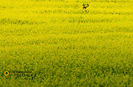 Whitetail Buck in calnola field in the Flathead Valley, Montana, USA