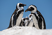 Comical but very cute African Penguins at Boulders Beach south of Cape Town, South Africa