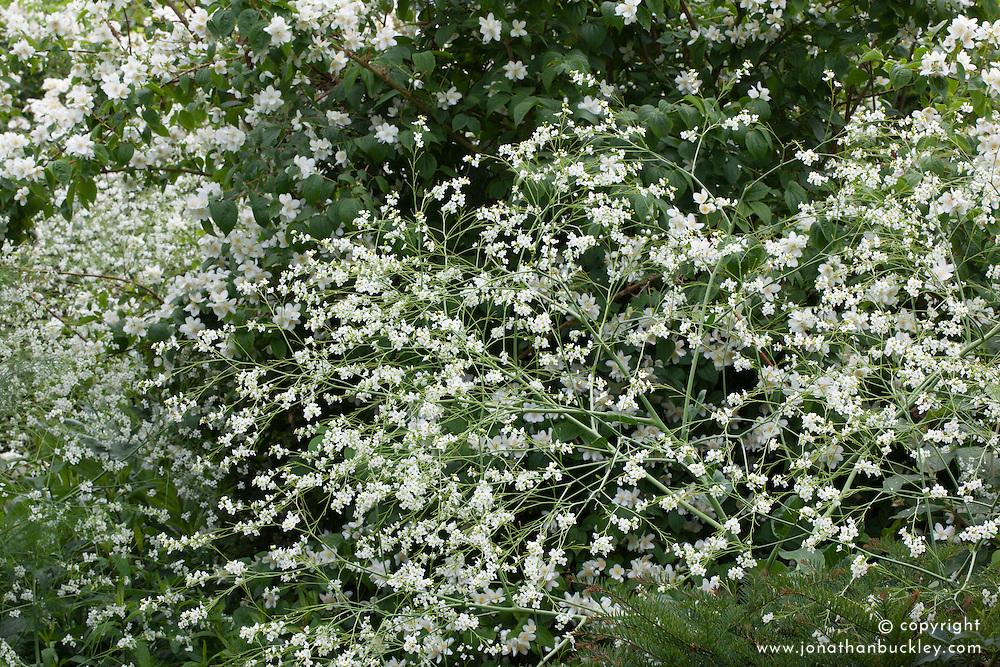 White combinations of Crambe cordifolia in front of philadelphus