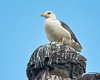 Lesser Black-backed Gull (Larus fuscus). Image taken with a Nikon N1V3 camera and 70-300 mm VR lens.