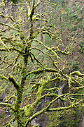 Moss and lichen smothers trees in Columbia River Gorge National Scenic Area, on Historic Columbia River Highway and Interstate 84, Oregon, USA.