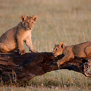 African Lion (Panthera leo) Cubs playing on log. Masai Mara National Park. Kenya. Africa.