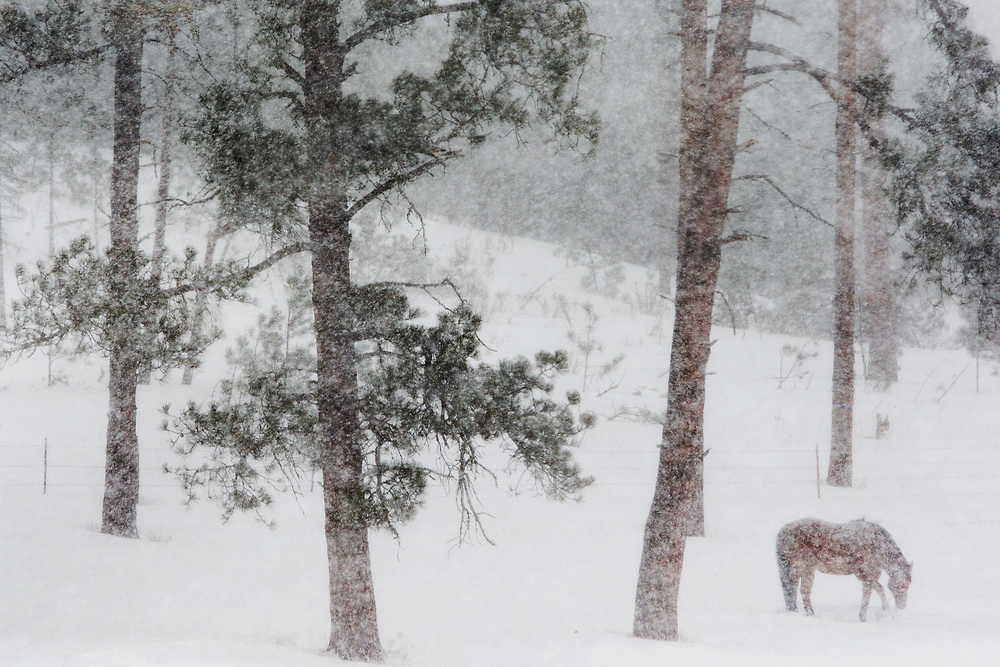 A lone horse is seen on an especially snowy day in the black hills on Tuesday afternoon. A winter storm warning has been issued for the area overnight.
