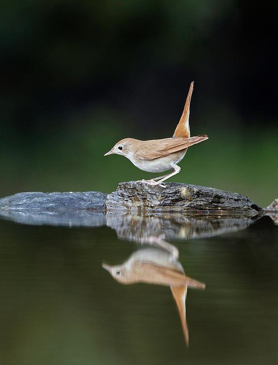 Nightingale (Luscinia megarhynchos) Pusztaszer Nature Reserve, Hungary