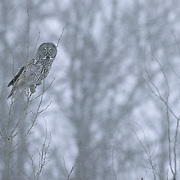 Great Gray Owl (Strix nebulosa) adult. Manitoba, Canada