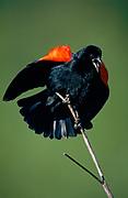 Red-winged Blackbird in Spring,Point Reyes National Seashore, California
