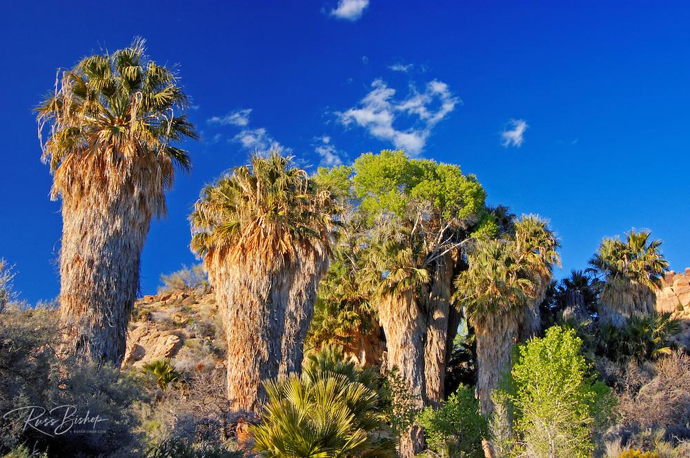 Fan palms at Cottonwood Spring, Joshua Tree National Park, California