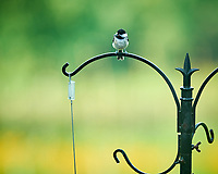 Black-capped Chickadee. Image taken with a NikonD850 camera and 200 mm f/2 VR lens