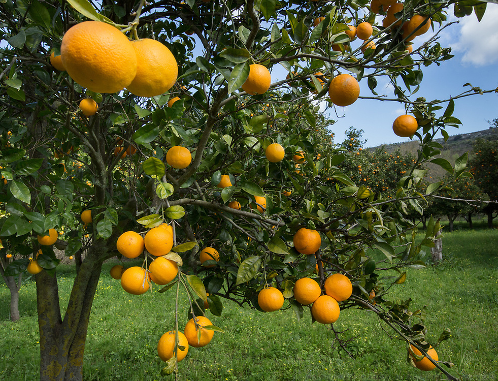 Cretan orange grove.