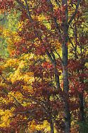 Autumn Garry Oaks in Klickitat County WA