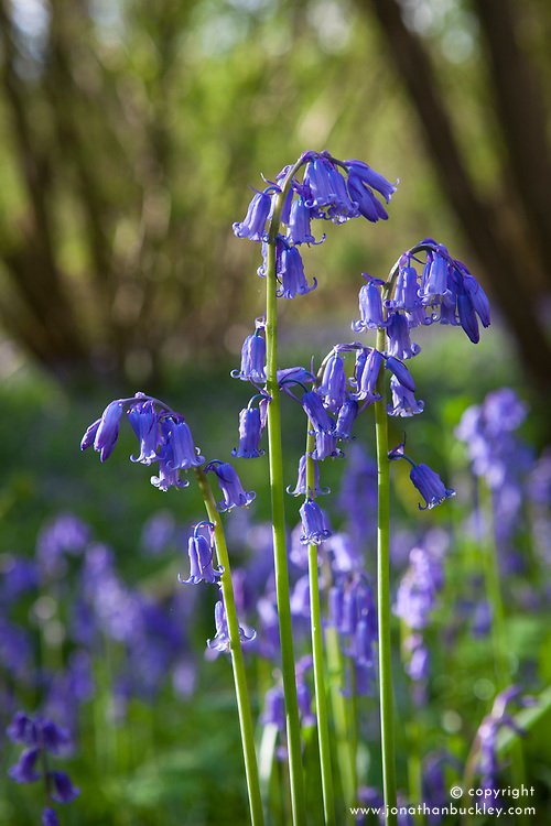 Bluebell growing wild in a woodland. Hyacinthoides non-scripta