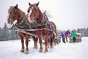 USA, MAINE, BLUE HILL: Birdsall Horse Logger Farm: horse logging in winter, Hans, Carl and Peter loading logs