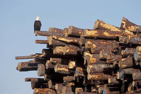 Bald Eagle, (Haliaeetus leucocephalus) Adult perched on harvested timber. Homer, Alaska.
