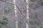 Winter Birch<br /> *ADD TO CART FOR LICENSING OPTIONS*