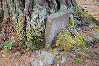 A tree grows around an old tombstone in Seabeck Cemetery, Seabeck, WA, USA