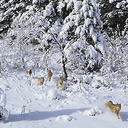 Gray Wolf pack running through snowy timber in the Rocky Mountains of Montana. Captive Animal