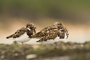 Three turnstones resting on a wall in a Scottish harbour.