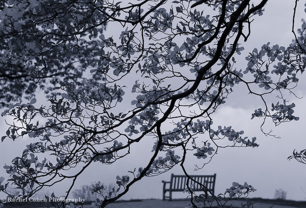 """""""Dogwood Curtain"""" mono<br /> <br /> Beautiful dogwood blossoms and a distant bench looking into the vast unknown!!<br /> <br /> The Blue Ridge Mountains by Rachel Cohen"""