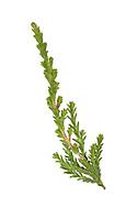 Heather - Calluna vulgaris