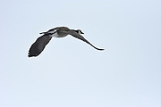 Canada goose (Branta canadensis) in flight<br />Winnipeg<br />Manitoba<br />Canada
