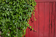 Green Summer leaves against a red wooden fence in perfect complimentary colours in Birmingham, United Kingdom.