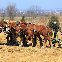 Ronks, PA / USA - April 2, 2015: An Amish farmer uses a team of horses to work a field in early spring in Lancaster County.