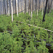Regrowth from a fire in Yellowstone National Park.