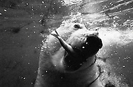 Deutschland, DEU, Stuttgart, 2000: Ein Eisbär (Ursus maritimus) fängt Unterwasser einen Fisch, Tierpark Wilhelma. | Germany, DEU, Stuttgart, 2000: Polar bear, Ursus maritimus, catching a fish with it's mouth under water, Tierpark Wilhelma, Stuttgart. |