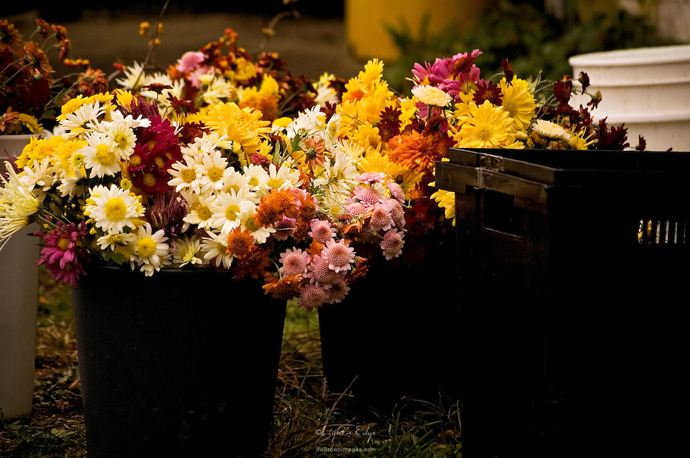 As autumn moves toward winter, a late harvest of organic flowers sits in buckets of water waiting to be bunched and delilvered.