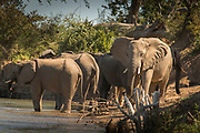 African elephants by river in Mana Pools National Park, Zambia